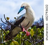 red footed boobies on isla san... | Shutterstock . vector #682793632
