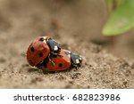 Lady Beetle Mating...