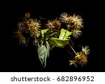 blossoming tilia flowers