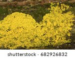 Yellow Slime Mold  Also Called...