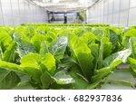 lettuce in hydroponic conversion   Shutterstock . vector #682937836