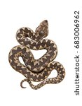Isolated Nosed Viper  Vipera...