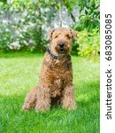 airedale terrier is a strong...   Shutterstock . vector #683085085