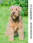 airedale terrier is a strong...   Shutterstock . vector #683085112