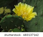 Yellow Flower Of Cactus