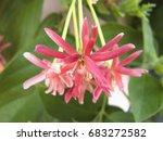 close up of rangoon creeper... | Shutterstock . vector #683272582