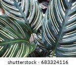 calathea majestica m.kenn. cu... | Shutterstock . vector #683324116