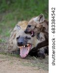 spotted hyena pup playing with... | Shutterstock . vector #683384542