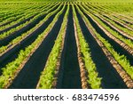 agriculture  carrot field in... | Shutterstock . vector #683474596