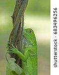 green iguana | Shutterstock . vector #683496256