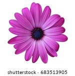 Flower Of African Daisy...