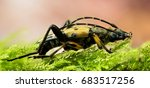 Small photo of Focus Stacking – Spotted Longhorn Beetle, Longhorn Beetle