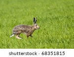 Stock photo hare running on green field in springtime 68351815