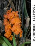 Amazing Orange Flowers Of Vand...
