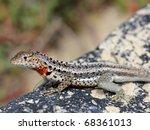 a lava lizard  tropidurus sp. ... | Shutterstock . vector #68361013