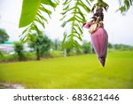 Focus A Banana Bud On Tree Wit...
