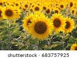 Yellow Sunflowers. Field Of...