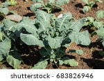 broccoli growing in mulch made... | Shutterstock . vector #683826946