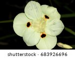 Dietes Bicolor  Butterfly Flag...