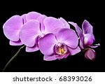 pink orchid on black background | Shutterstock . vector #68393026