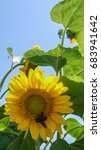 big yellow sunflower with a bee ... | Shutterstock . vector #683941642