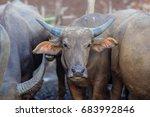 buffalo thailand   Shutterstock . vector #683992846