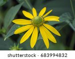 close up of a daisy like yellow ... | Shutterstock . vector #683994832