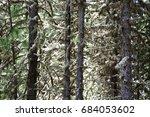 spruce covered in white moss.... | Shutterstock . vector #684053602