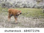 Young Bison Red Dog Calf With...