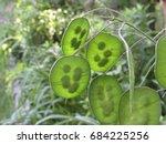 Silver Dollar Plant  Lunaria...