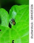 Small photo of Salticidae in the nature
