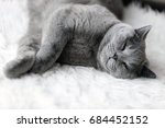 Stock photo young cute cat sleeping on cosy white fur the british shorthair pedigreed kitten with blue gray fur 684452152