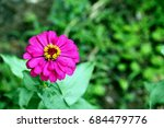 Close Up Of Purple Zinnia...