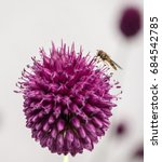 Allium And Bee At Two O\'clock