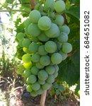 organic grape in the vineyard   Shutterstock . vector #684651082