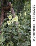 Small photo of Alcea yellow