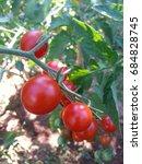 organic tomato plant   Shutterstock . vector #684828745