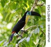 channel billed toucan   Shutterstock . vector #684871426