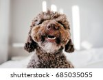 Stock photo brown spanish water dog with lovely face and big brown eyes playing at home on the bed indoor 685035055