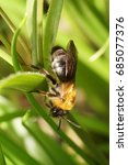 Small photo of Macro side view of a fluffy striped and brown bee Andrena on a green onion plant leaf in early spring