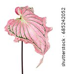 caladium bicolor with pink leaf ... | Shutterstock . vector #685242052
