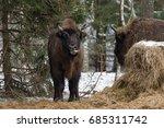 european bison  aurochs  bison...   Shutterstock . vector #685311742