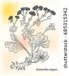 alchemilla vulgaris  common... | Shutterstock .eps vector #685315342