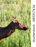 Small photo of Detail of Yellowstone moose (Alces alces shirasi) on the pasture, Wyoming, USA