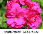 pink geranium flower in a... | Shutterstock . vector #685375822