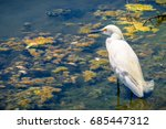 Snowy Egret Hunting At The...