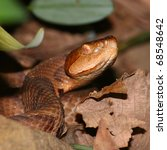 Small photo of A venomous Copperhead (Agkistrodon contortrix) snake at Monte Sano State Park in Alabama.