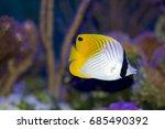 auriga butterflyfish  chaetodon ... | Shutterstock . vector #685490392