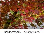 Colourful Maple Leaves
