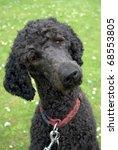 Black Standard Poodle   2 Year...